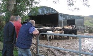 W Cork - cattle