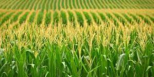 maize-3