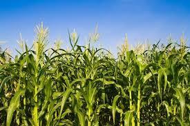 maize-4