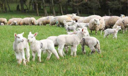 ICSA ON-FARM SHEEP DEMONSTRATION