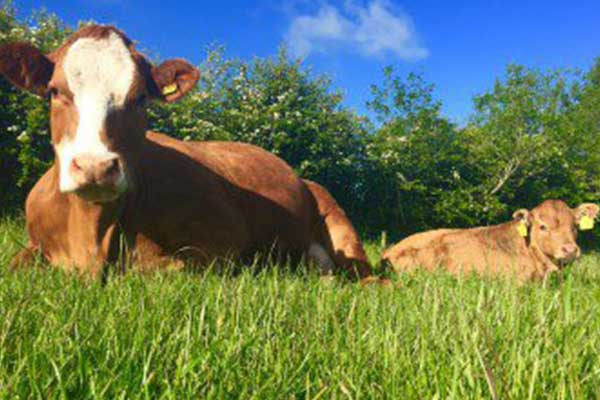ICSA calls for dairy-style relief for suckler sector