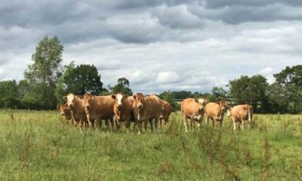TIME TO HOLD BACK CATTLE UNTIL PRICES IMPROVE