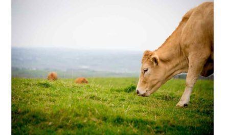 MEAT FACTORIES DETERMINED TO KEEP BASE PRICES DOWN AT ALL COST